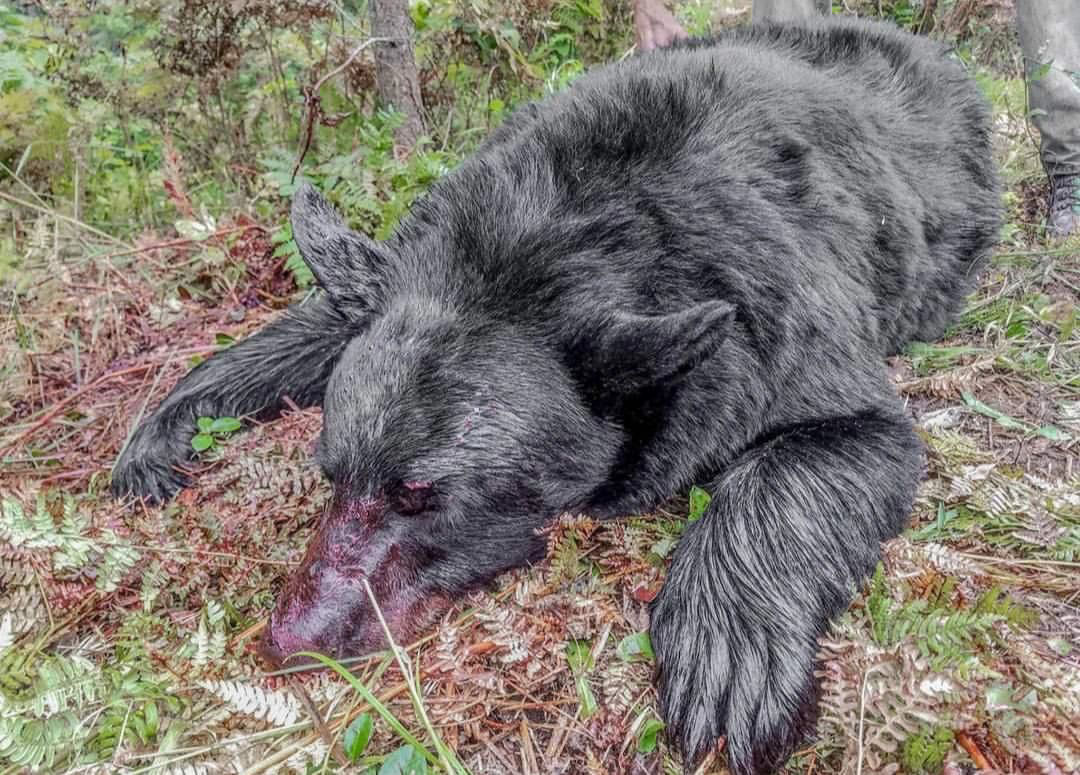 About Maine Bear Hunting