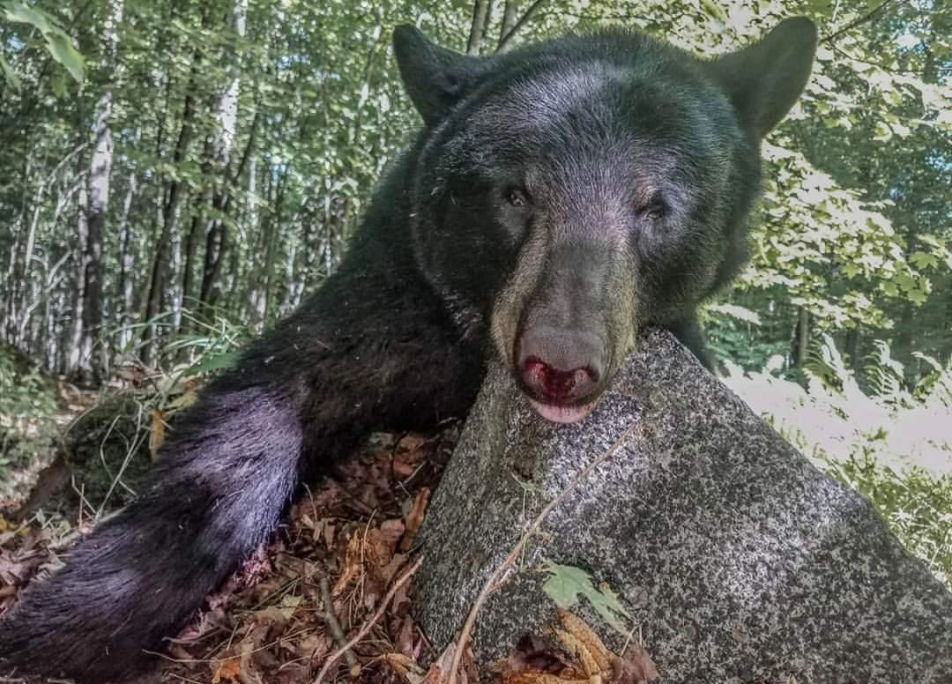 Maine bear hunting experience
